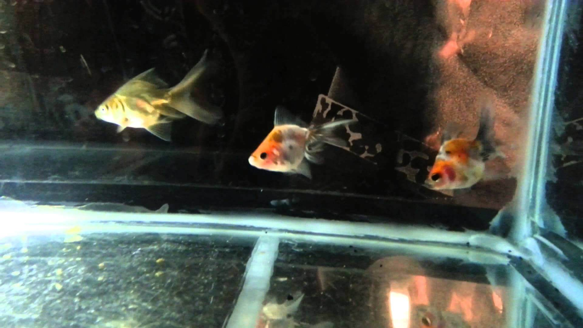 Goldfish Fry 4 Months Old 9/02/2013