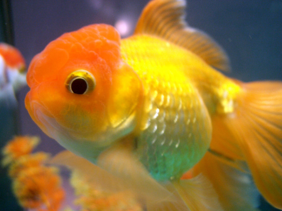 Goldfish Types Archives - Fancy Goldfish - All About Goldfish