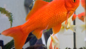 All About Goldfish Feeding