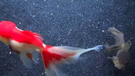 Goldfish Care: What to do When You're Overstocked