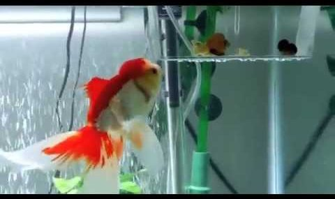 How to Entertain Your Goldfish (lol)