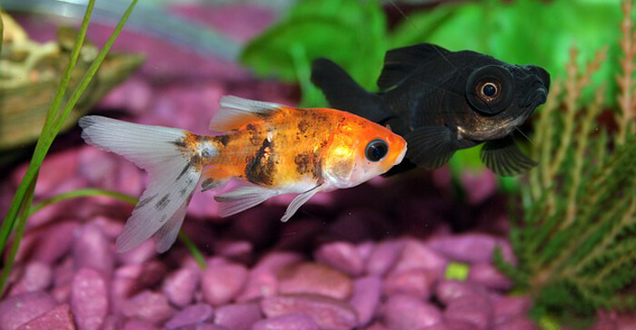 Goldfish behaviors and what they mean fancy goldfish for Goldfish pond care