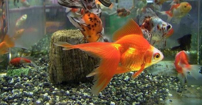Feeder Fish Goldfish | Goldfish Myths Know The Facts Fancy Goldfish Goldfish Care