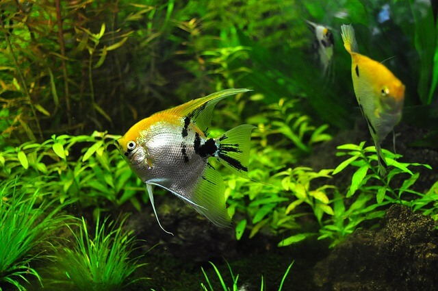 More Tips On Cleaning A Fishtank Fancy Goldfish Goldfish Care