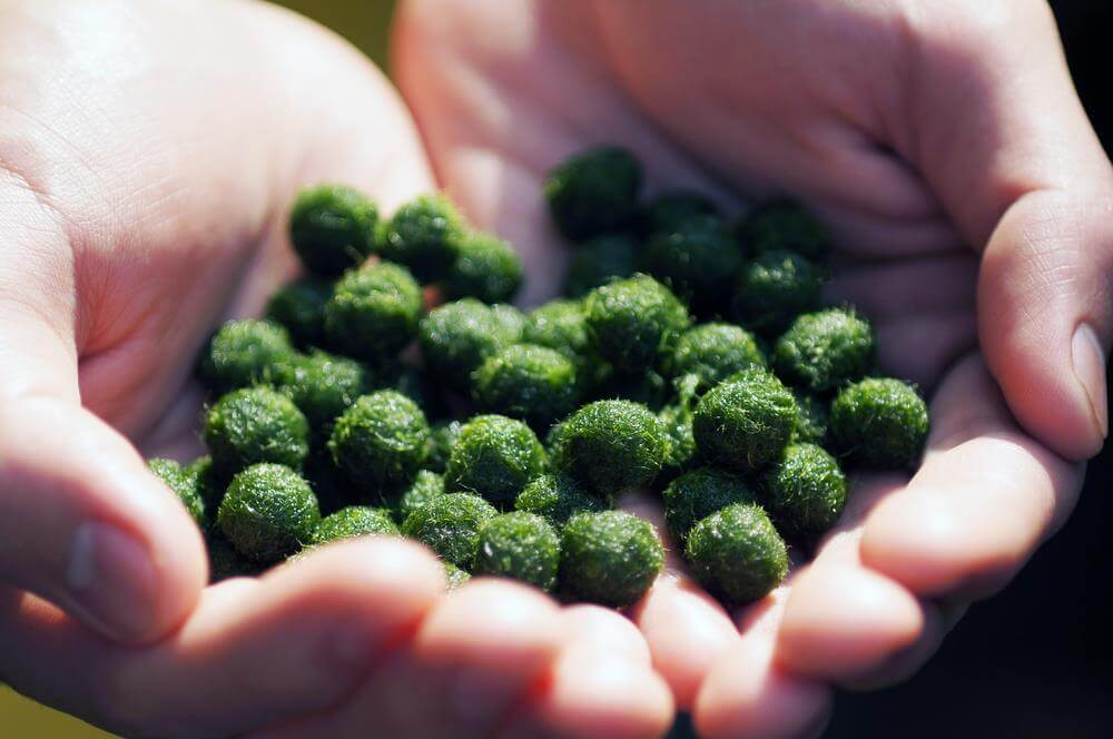 moss-balls-for-fish-food