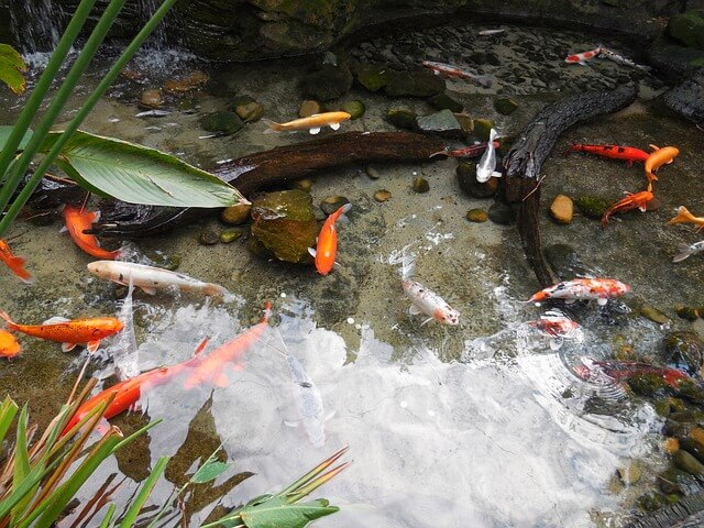 Tips for setting up your own goldfish pond fancy for Pond fishing tips