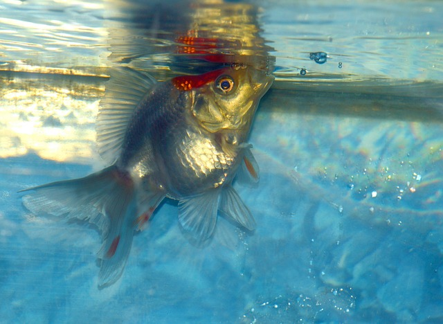 Goldfish Behaviors And What They Mean - Fancy Goldfish